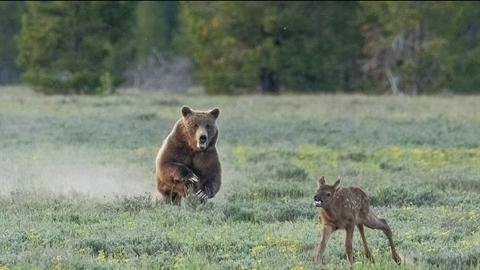 Gặp gấu xám, nai sừng tấm non chết thê thảm