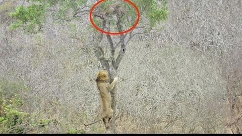 Tính trèo cây cướp mồi báo, sư tử suýt ôm hận