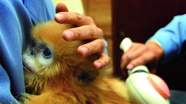 Bác sĩ Trung Quốc thiệt mạng khi đang nghiên cứu virus khỉ