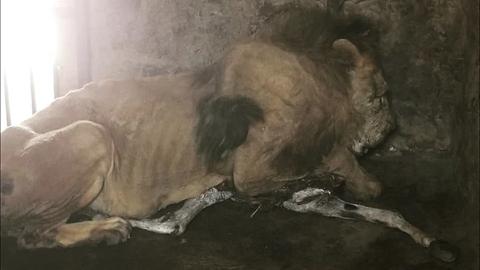 Bầy sư tử chỉ còn da bọc xương: Xót xa