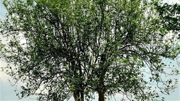 Trộm mộc hương trồng 20 năm: Nhổ cây trong vài phút
