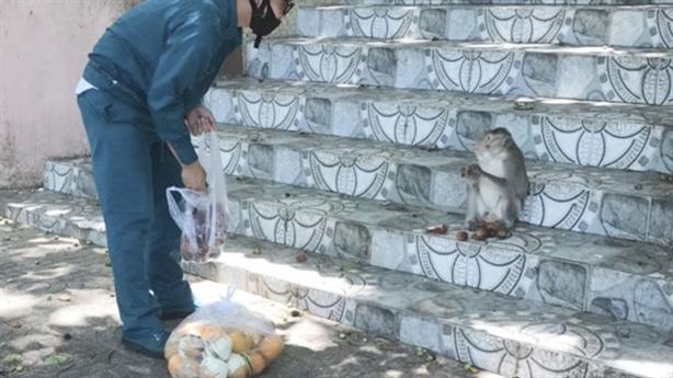 Đói ăn, đàn khỉ xuống núi: Dân tiếp tế sữa, hoa quả