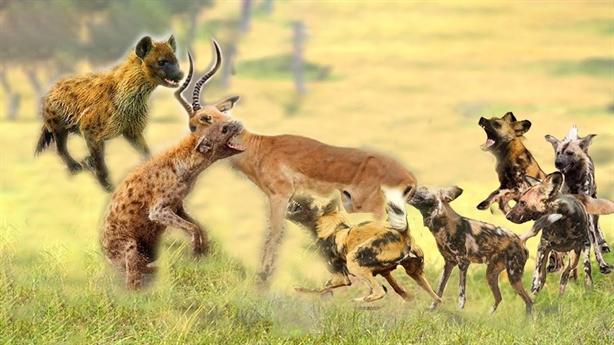 Chó hoang đại chiến linh cẩu: Kẻ nào chiến thắng?