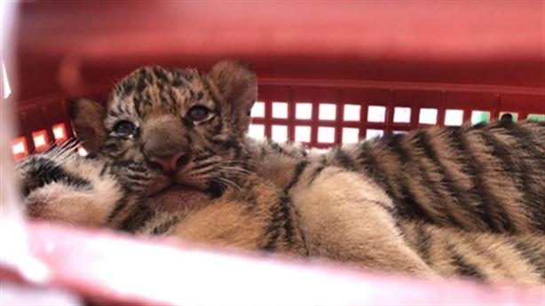 Chở 7 con hổ đi bán, lùi xe vào tổ công tác