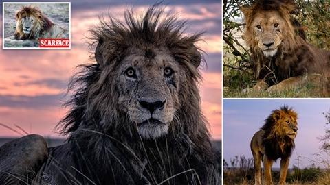 Đời buồn của 'vua sư tử' già nhất châu Phi