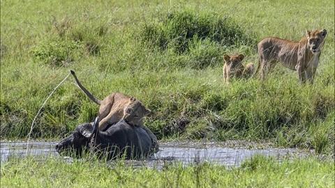 Bầy sư tử 'mưu sâu', trâu rừng chết thảm nhanh chóng