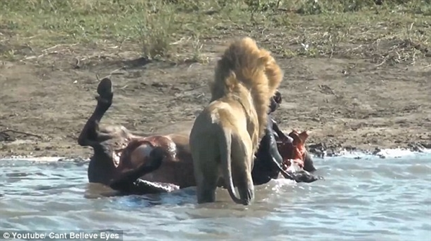 Gặp sư tử, trâu rừng mang thai chết thảm: Cảnh kinh hoàng