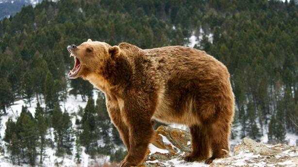 Mổ xác gấu xám lớn: Sốc với danh tính hung thủ