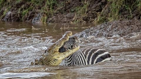 Kinh hãi cá sấu ngoạm đầu ngựa vằn: Có phép màu?