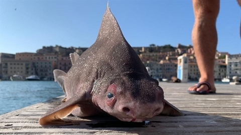 Kinh hãi sinh vật mặt giống lợn dạt vào bờ biển
