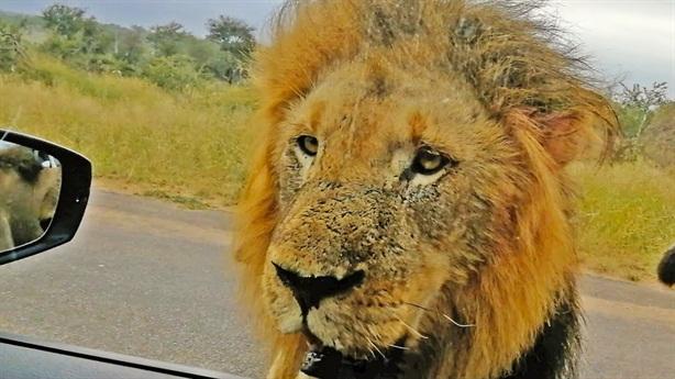 Quên kéo kính xe, gặp ba sư tử: Hú hồn cái kết
