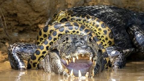Cá sấu chơi đòn độc thoát khỏi trăn khổng lồ Anaconda