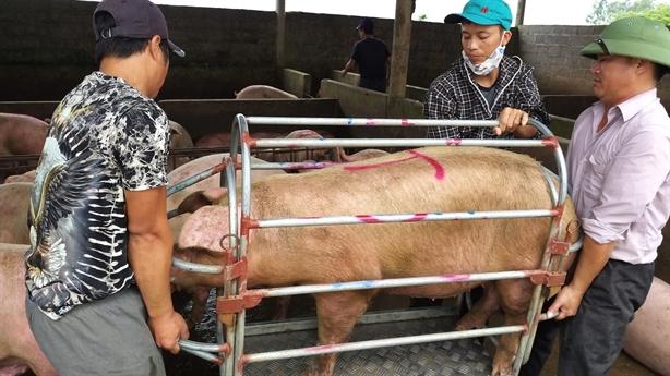 Giá lợn có thể xuống 25.000 đồng/kg: Cách cuối cùng...