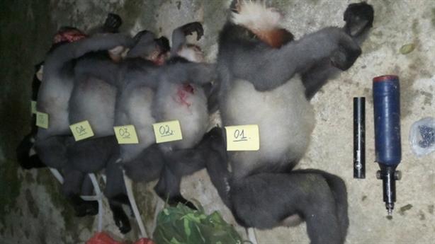 5 cá thể voọc quý hiếm bị bắn chết: Thợ săn hay...?