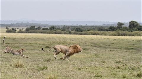 Liều cứu con, báo làm điều không tưởng với 'vua sư tử'