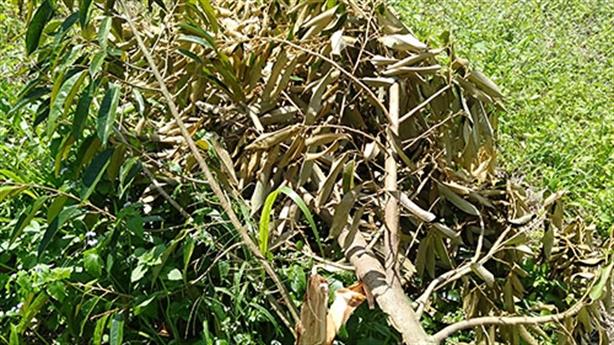 60 cây sầu riêng bị kẻ xấu phá: 'Xót xa quá'