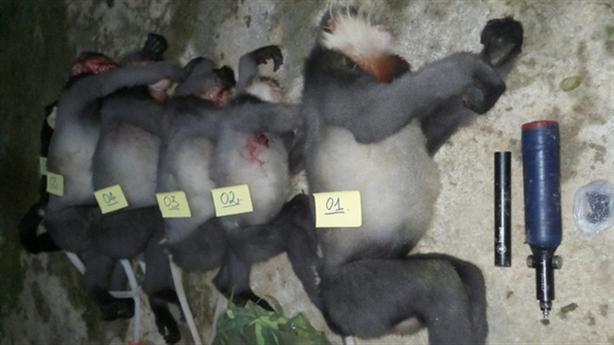 Yêu cầu điều tra vụ 5 cá thể voọc bị bắn chết