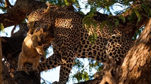 Báo đói trộm sư tử con mang lên cây ăn ngấu nghiến