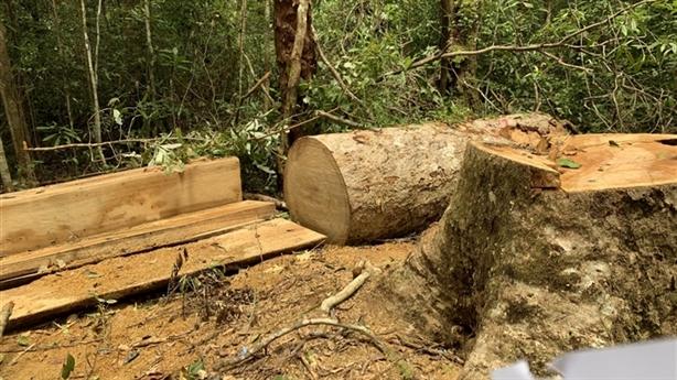 Trạm trưởng và thuộc cấp chặt gỗ trái phép để...làm giường nằm?